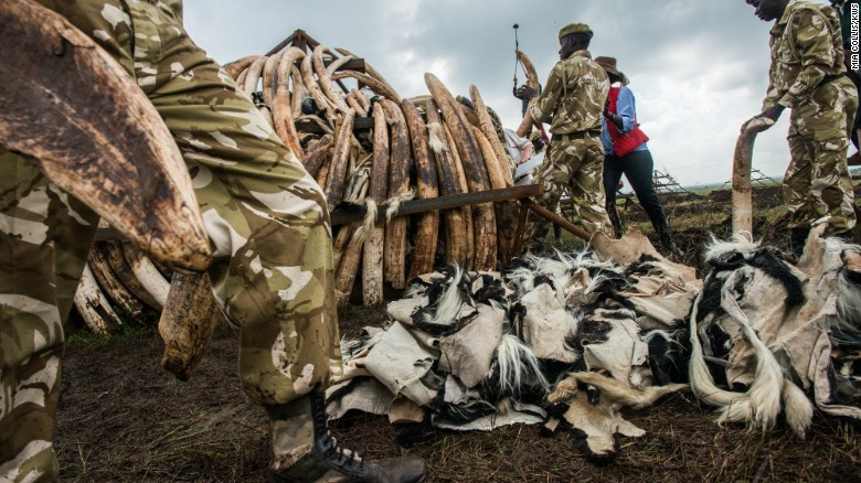 Up in smoke: Kenya to torch millions of dollars worth of ivory