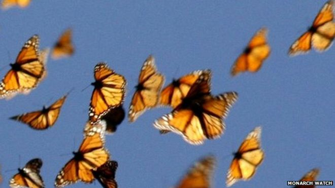 Great monarch butterfly migration mystery solved