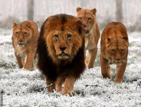 _89301185_lion