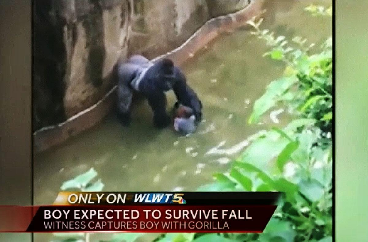 Child falls into gorilla cage at Cincinnati Zoo, rescued from 400-pound male gorilla