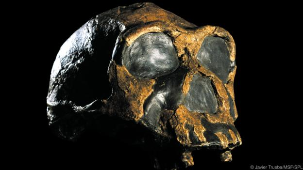 Homo ergaster skull (KNM-ER 3733). This fossil specimen dates from around 1.8 million years ago, and was discovered in 1975 in Koobi Fora, on the eastern shore of Lake Turkana, Kenya. This well-preserved fossil skull is that of a mature female. H. ergaster is an extinct hominin species from the same genus as modern humans.