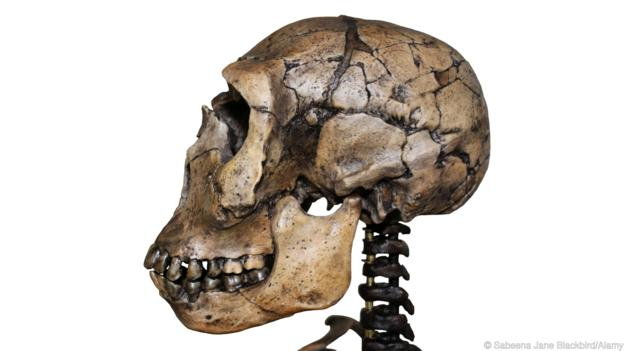 D11P21 Side View Of Homo ergaster Skull Nariokotome Boy