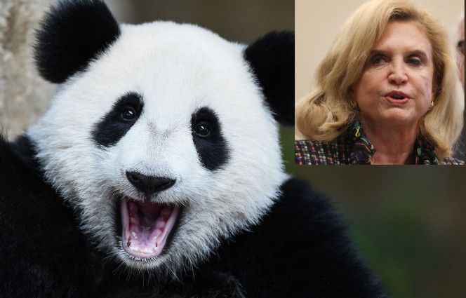 Carolyn Maloney is throwing a party — for pandas