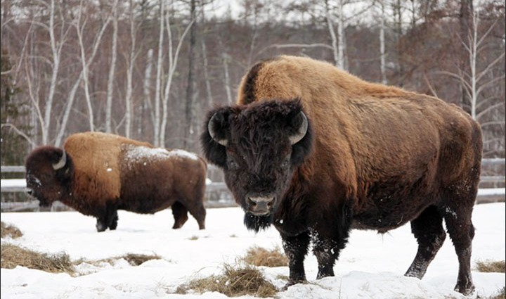 Cloning ancient extinct bison sounds like sci-fi, but scientists hope to succeed within years