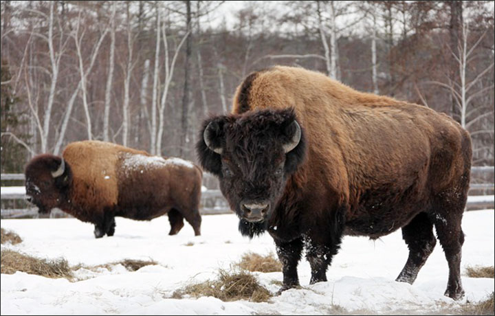 cloning-steppe-bison