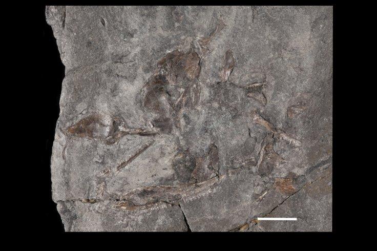 diploradus-austiumensis