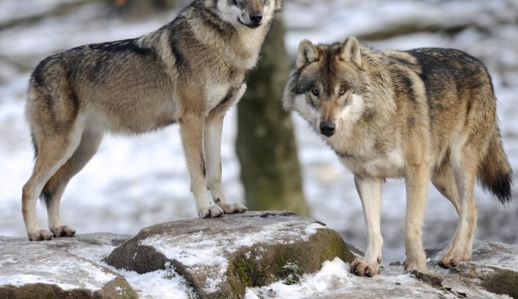 Wolves 'at the door of Paris' for the first time in 100 years