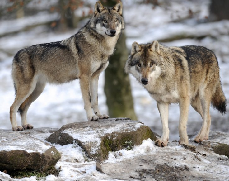 european-grey-wolves-are-pictured-animal-park-sainte-croix-december-12-2012-rhodes-eastern