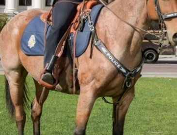 Denver police horse dies after officer forgot he was tied in stall without food or water