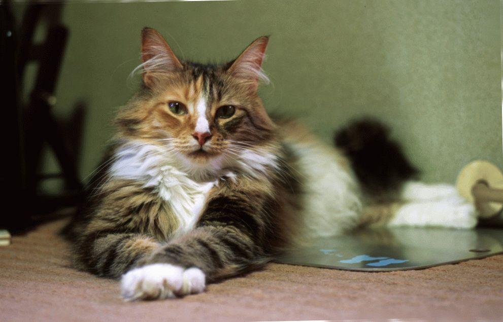 Норвезький-лісовий-кіт-купити