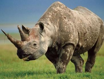 Зачем в зоопарке носорогам отрезают рога?