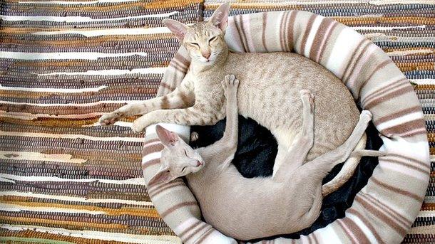 Ученые объяснили, почему кошки виляют хвостами