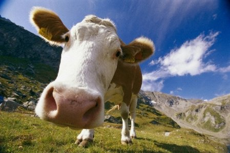 Стадо коров насмерть затоптало миллионера