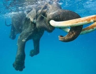 Утопающий слон поднял на ноги флот Шри-Ланки (ВИДЕО)