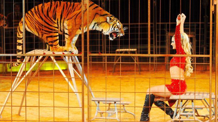 Тигр набросился на женщину: узнайте подробности