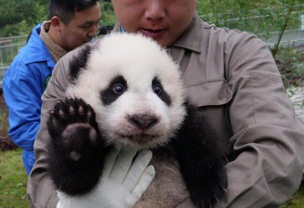 Милота зашкаливает: в китайском зверинце показали 36 новорожденных панд