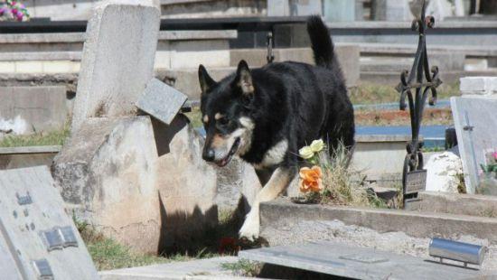 «Он провел 11 лет рядом с могилой хозяина»: трогательная история о собачьей верности