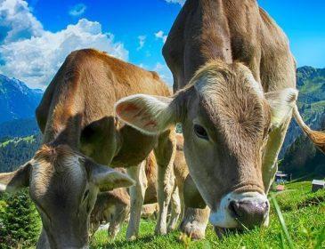 Видео с летающими коровами взбудоражило Сеть. И это не монтаж!