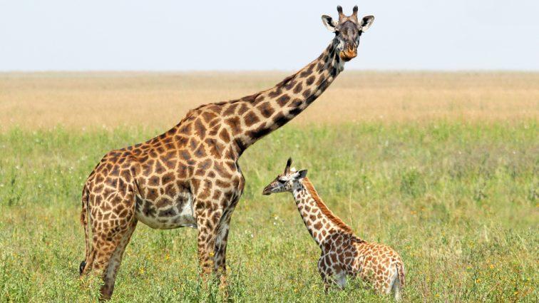 В ЮАР жираф до полусмерти покусал мать с ребенком