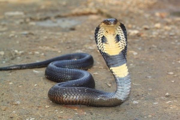 «Шутка удалась»: в Индии от укуса кобры умер парень, решивший напугать змеей своих друзей