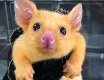 В Австралии нашли золотого опоссума похожего на Пикачу